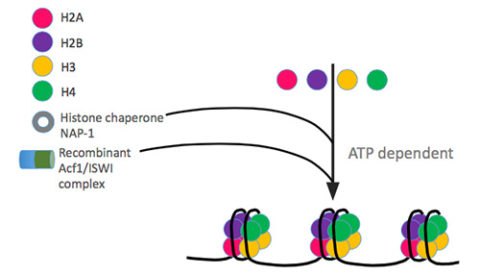 chromatin-assembly-kit-schema